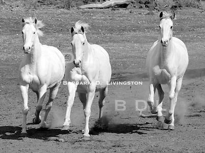 Arcticanna (left), Silverado JC (center), Rubiana Lace (right) scenic, mood, horse racing, pretty, racehorse, horse, equine, racetrack, track, saratoga