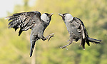 Pictured: A pair of jackdaws fighting<br /> <br /> Birds repeatedly battle in the air, screeching and clawing at each other as they fight over food.  The air above a small bird feeder in a British garden is almost a constant scene of war as jackdaws, magpies, rooks, and starlings conduct a series of aerial duels.<br /> <br /> The battling birds were pictured over the back garden of computer programmer Alex Appleby's home in Hatfield Peverel, Essex.   SEE OUR COPY FOR DETAILS.<br /> <br /> Please byline: Alex Appleby/Solent News<br /> <br /> © Alex Appleby/Solent News & Photo Agency<br /> UK +44 (0) 2380 458800