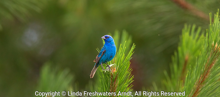 Male indigo bunting perched in a red pine tree in northern Wisconsin.