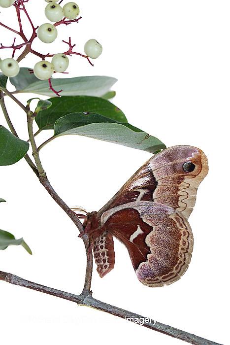 30040-00219 Promethea Moth (Callosamia promethea) female on Gray Dogwood (Cornus racemosa) on white background, Marion