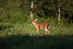 White-tailed fawn