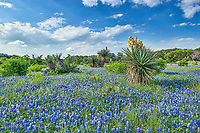 Bluebonnet field landscape with yuccas in the Texas Hil country with blue skies . The yucca cactus were blooming and several were good size they must of been here for a while to get to this size.  This is what spring in the texas hills country looks like where you can capture cactus and bluebonnets blooming at the same time in this wilflower landscape.