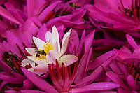Flowers and Bees at a Kandy Buddhist Temple