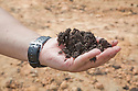 A close up of a handful of rich compost used on the plantation. The compost comes from the recycled waste of the palm oil mill. The Sindora Palm Oil Plantation, owned by Kulim, is green certified by the Roundtable on Sustainable Palm Oil (RSPO) for its environmental, economic, and socially sustainable practices. Johor Bahru, Malaysia