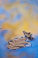 Oak leaves float on the water in a reflection of autumn color