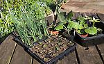 Trays of vegetable seedlings on an outside garden table, UK