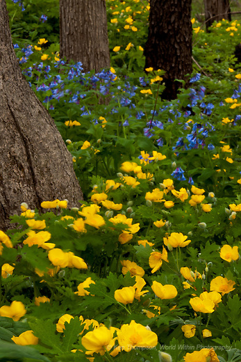 Celandine Poppies and Virginia Bluebells at The Morton Arboretum<br />