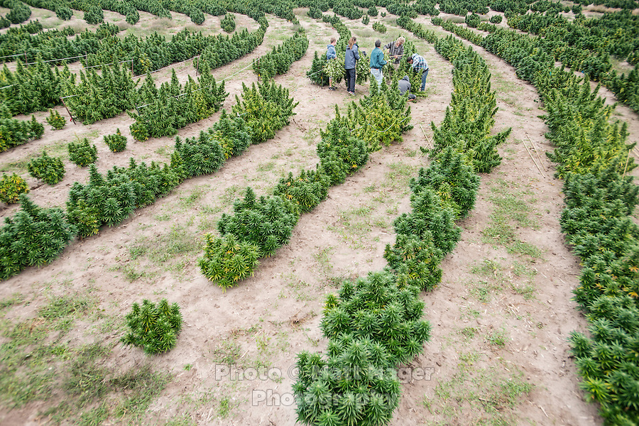 Rows of industrial grade hemp await harvest at the Stanley Brother's Charlotte's Web farm near Wray, Colorado, Monday, September 22, 2014. The Stanley Brothers have developed a popular strain of marijuana that has been found to be helpful in reducing seizures. The marijuana high in CBDs and low in THC, the chemical which gets a person stoned.<br /> <br /> Photo by Matt Nager
