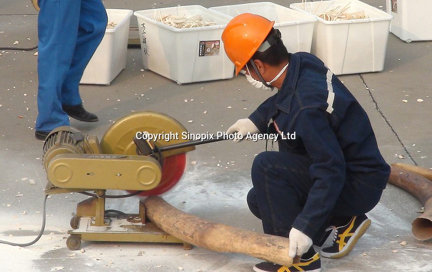 A handout photo from the Hong Kong-based 'AquaMeridian Conservation and Education Foundation' shows a worker sawing an elephant tusk from 6.2 tonnes of confiscated ivory prior to crushing by Chinese customs officials under the supervision of China's State Forestry Administration, Huangpu Port, Dongguan, China, 06 January 2014. After the United States, Philippines, Gabon, Kenya and Zambia, China is the latest country to crush its confiscated ivory as a symbolic gesture, sending a message to consumers, traffickers and poachers in Africa and Asia that the ivory trade is wrong and will make Africa's last remaining elephant populations extinct within 15 years. Scientists estimate that 25,000 elephants were illegally killed in 2012.