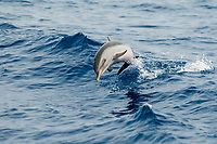 pantropical spotted dolphin, leaping, Stenella attenuata, Kona, Big Island, Hawaii, Pacific Ocean