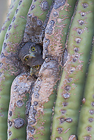 Within days of leaving the nest, cavity nesting owls, like these rare Cactus Ferruginous Pygmy-Owls, spend a great deal of time peering out of their nest cavities.