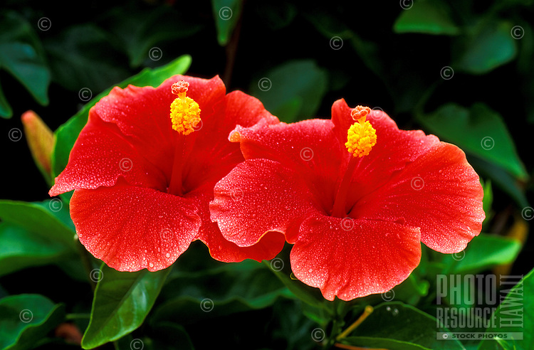 A pair of beautiful red Hibiscus Flowers.