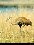 Sandhill Crane Juvenile in Fall Plumage, Yellowstone National Park, Wyoming