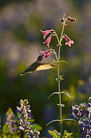 Black-chinned Hummingbird (Archilochus alexandri), adult female feeding on blooming Hill Country penstemon, Scarlet penstemon (Penstemon triflorus), Hill Country, Texas, USA