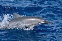 Hawaiian/Grays Spinner Dolphin, Stenella longirostris, porpoising, Maldives, Indian Ocean