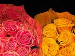 Roses, Dayton, Ohio.