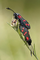 Six-spot burnet Zygaena filipendulae Length 16-18mm. Well-marked and distinctive day-flying moth. Adult has dark forewings (with a greenish-blue iridescence at certain angles) and six red spots; hindwings are red with a dark border. Larva is yellow with black spots; feeds on Bird's-foot Trefoil. Pupates in a yellow cocoon attached to plant stem. Widespread and locally common in grassland habitats.