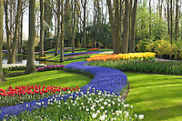 "Hollande, région des champs de fleurs, Lisse, Keukenhof, massifs de tulipes, muscaris et narcisses en sous-bois // Holland, ""Dune and Bulb Region"" in April, Lisse, Keukenhof, flowerbeds with tulips, muscaris and daffodils undergrowth."