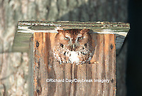 01121-00210 Eastern Screech-Owl (Otus asio) in nest box Effingham Co.   IL