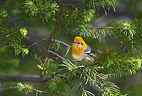 592190012 a wild male olive warbler peucedramus taeniatus perches in a douglas fir tree on mount lemmon tucson arizona united states