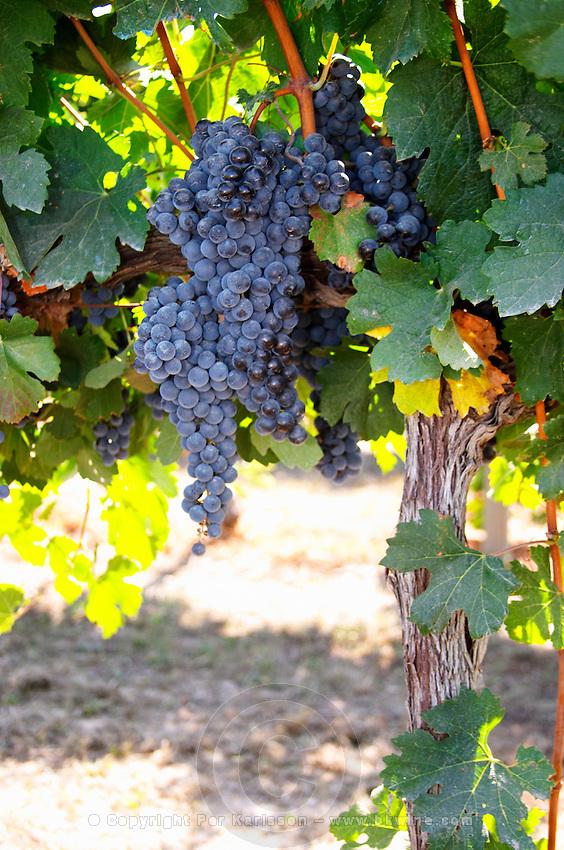 Bunches of ripe grapes. Castel del Remei, Costers del Segre, Catalonia, Spain.