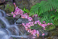 USA, Oregon, Portland, Crystal Springs Rhododendron Garden, Small waterfall with fallen rhododendron blossoms and bracken fern fronds.