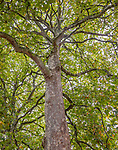 London plane (Platanus orientalis), Hyde Park, London, England<br /> Established by Henry VIII for hunting, Hyde Park opened to the public a century later in 1637. Its wide lawns, woodlands, and waterways are an essential respite from the city.<br /> <br /> Canon EOS 5DS R, EF24-70mm f/4L IS USM lens, f/6.3 for 1/60 second, ISO 200