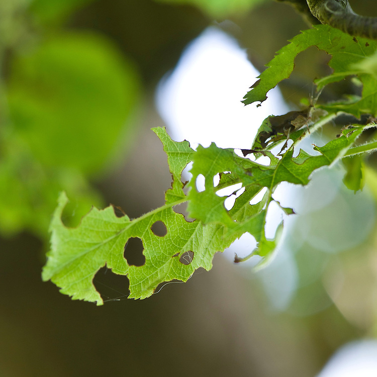 Holes in leaves of apple tree caused by caterpillars of winter moth (Operophtera brumata), early May.
