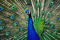 Male Peacock displaying.