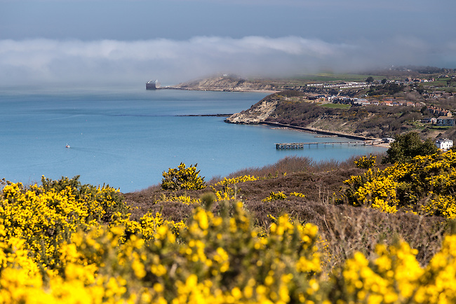 Yellow Gorse in Bloom on Headon Warren in the West Wight