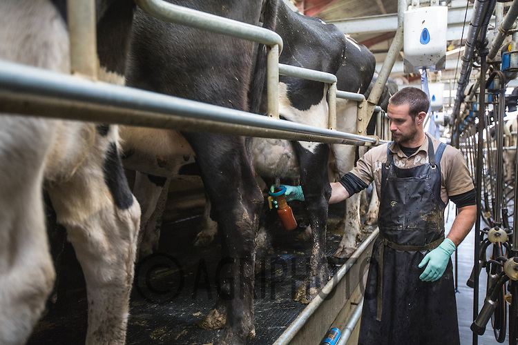 Diary cows being milked in a herringbone parlour <br /> Picture Tim Scrivener 07850 303986