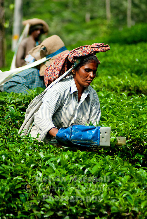 Walk through the tea carpeted hills of Periyar and enjoy watching the women plucking the leaves of one of the most widely consumed beverage in the world. The leaves are plucked in a special manner – 'two-leaf-and-a-bud'.