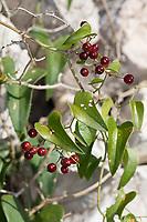 Raue Stechwinde, Stechwinde, Rauhe Stechwinde, Früchte, Smilax aspera, rough bindweed, sarsaparille