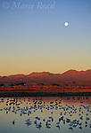 Sunrise/moonset at Bosque Del Apache National Wildlife Refuge, with Greater Sandhill Cranes (Grus canadensis) and Snow Geese (Chen caerulescens) in pool, New Mexico, USA<br /> Slide # SNM-47