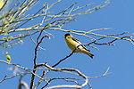Tucson, Arizona; a Lesser Goldfinch (Carduelis psaltria) bird perched on a branch in early morning sunlight