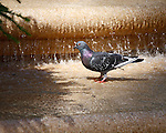 A lovely and regal grey and black Rock Pigeon  with white markings and irridecent purplle neck and bright orange eyes and feet standing on the step in a fountain facing the lacy shadow of an evergreen.