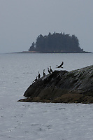 Pelagic cormorants (Phalacrocorax pelagicus) cling to the Gravina Rocks in Port Gravina, Prince William Sound, Southcentral Alaska, during their annual spring migration in early May.