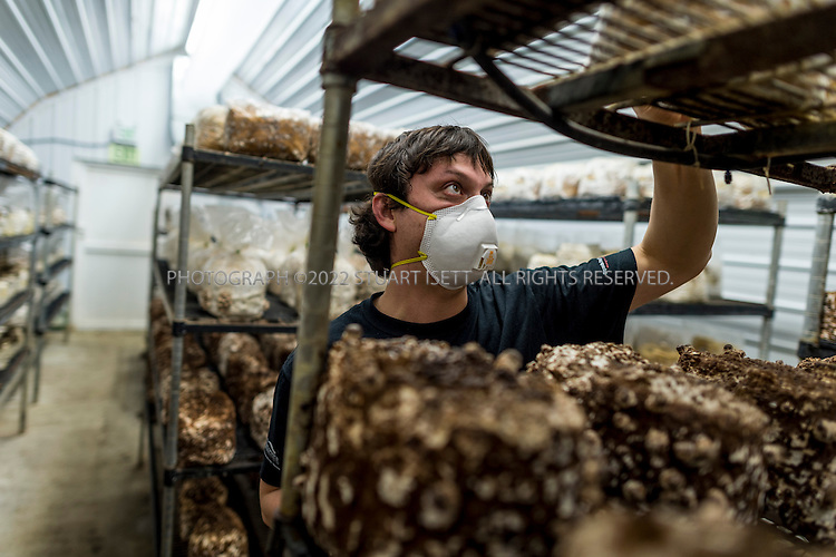 3/22/2013--Shelton, WA, USA..Juston Tulloss, an employee at Fungi Perfecti, inspects Lion's Mane mushrooms (Hericium erinaceus) in a grow room at the farm in Shelton, WASH., south of Seattle...Paul Stamets, 57, is an American mycologist, author, and advocate of bioremediation and medicinal mushrooms and owner of Fungi Perfecti, a family run business that specializes in making gourmet and medicinal mushrooms.. ..©2013 Stuart Isett. All rights reserved.