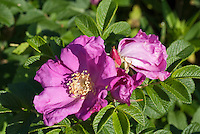 Rosa rugosa 'Scabrosa' Rugosa rose in prink flower