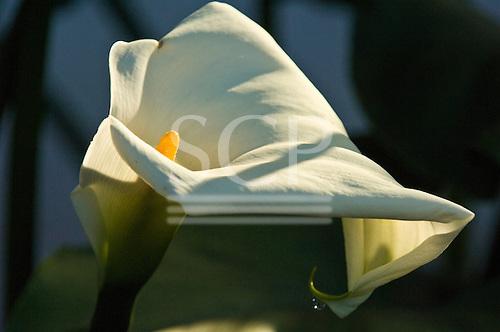 Fazenda Bauplatz, Brazil. White lily flower.