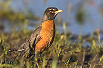 American robin in northern Wisconsin