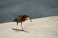 "Tricolor Heron stealing a fisherman's shrimp bait while the fisherman ""looked the other way"".<br />