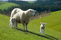 Spring lambs and mother sheep on rolling hill country farmland, New Zealand