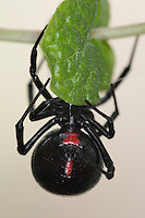 The southern black widow has the shiny, black, globular abdomen with the distinctive red hourglass on the underside. Only the female black widow bites humans, and she bites only when disturbed, especially while protecting her eggs. Of the 30,000 'types' of spiders, the black widow is probably the one best known and feared.