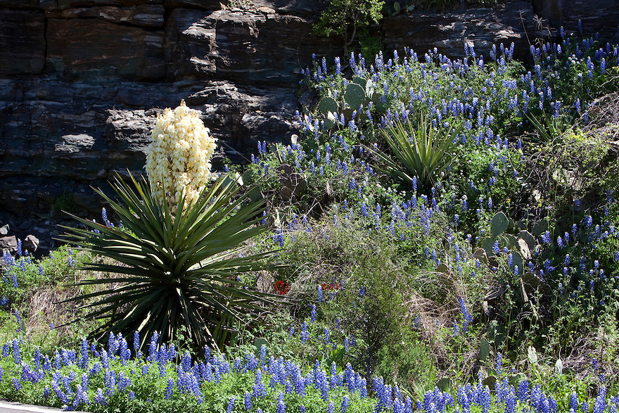 Blooming yucca and bluebonnets in the Texas Hill Country near along Lake Buchanan