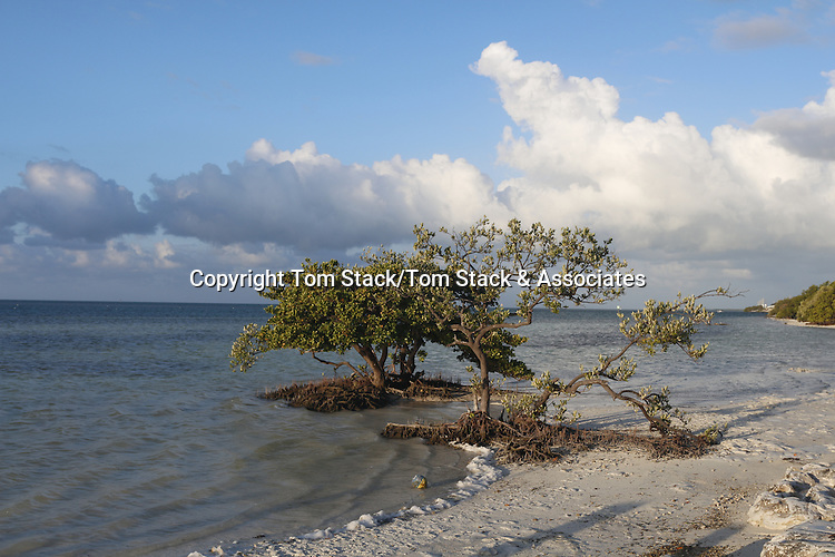 Mangrove on Anne's Beach, Islamorada, Florida