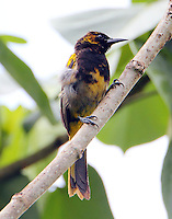 Immature black-cowled oriole