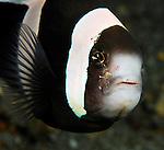 Anemonefish with Cleaner Shrimp, Lembeh Straits, Sulawesi Sea, Indonesia, Amazing Underwater Photography
