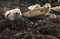 Harbor Seals  #W11