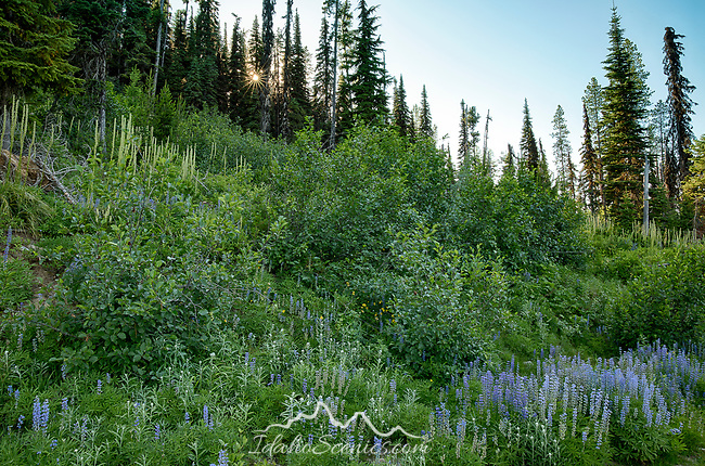 Idaho, North, Kootenai County, Kingston. Lupine and a sun star in the St. Joe District of the Idaho Panhandle National Forest in  summer.